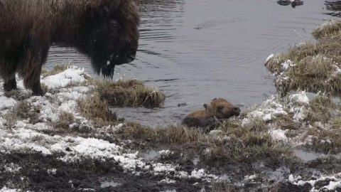 One Day Old Baby Bison Dramatically Rescues Itself After Falling Into Freezing Pond For 12 Minutes Image