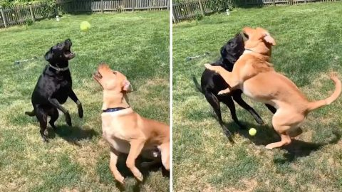 Catch Of The Day! Two Dogs Attempt To Catch Same Ball But Miss And Clatter Into Each Other Image