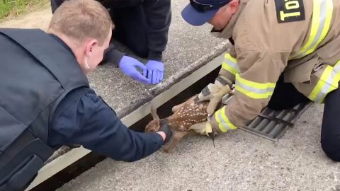Firefigher Rescues Baby Deer From Storm Drain Image