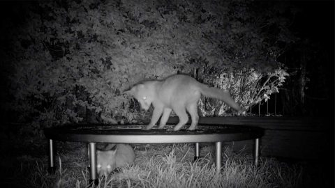 Adorable Footage Shows Fox Cubs Bouncing On A Trampoline Image