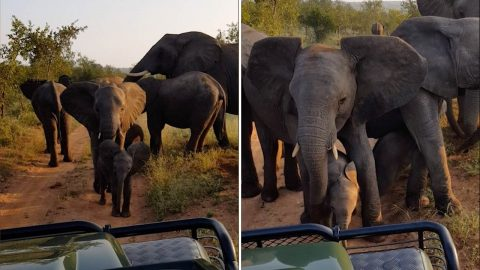 Curious Baby Elephants Are Stopped By From Taking A Closer Look At Tourists Protective Mother Image