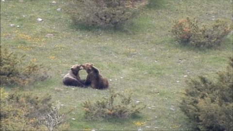 Besotted Pair Of Super Rare Wild Bears Caught Cuddling In Extraordinary Video Image