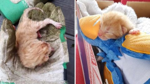 Whiskers Away From Death! Student Mowing Lawn For Summer Shocked To Nearly Run Over Newborn Kitten – Before Nursing It Back To Health Image