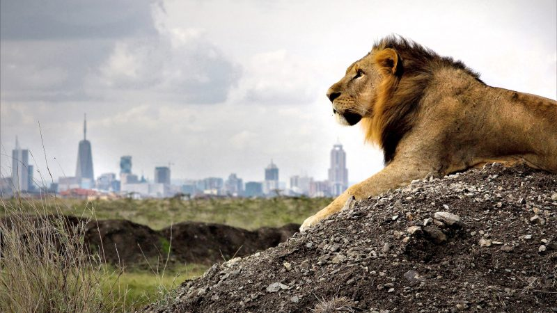 King Of The Concrete Jungle - Lion Gazes At Skyline City From His Throne Image