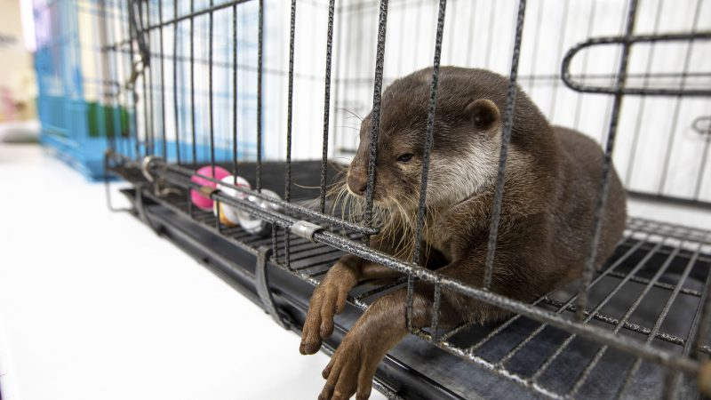 Cruel Reality Of 'Otter Craze' Sweeping Across Japan Image