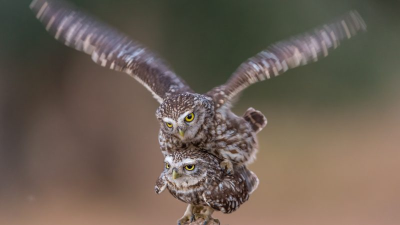 Totem Owls - Pair Of Owls Appear As Totem Pole While Mating Image