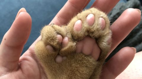 Adorable cat has extra toes so large they have own centre pads and look like multiple paws Image