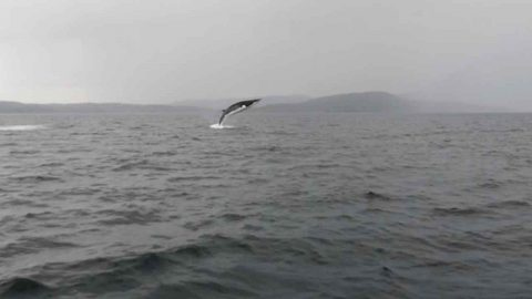 Whale Hello There: Boat Passengers Capture Rare Moment Minke Whale Breaches Four Times Off Isle Of Skye Image