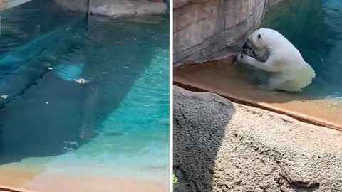 Feeding Time At The Zoo: Family On Vacation Witness Unlucky Duck Get Eaten By Hungry Polar Bear In San Diego Zoo Image