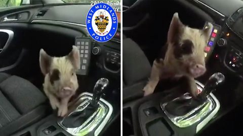Run Away Piglet Has Bacon Saved By Police  Image