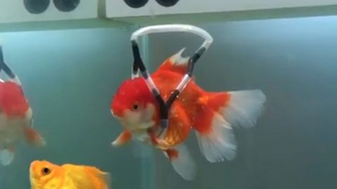 Kindhearted Man Creates wheelchair' Device For Disabled Goldfish Image
