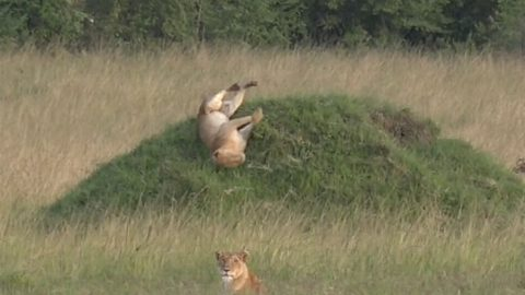 Pride comes before a fall!! Hilarious moment lion tumbles down hill Image
