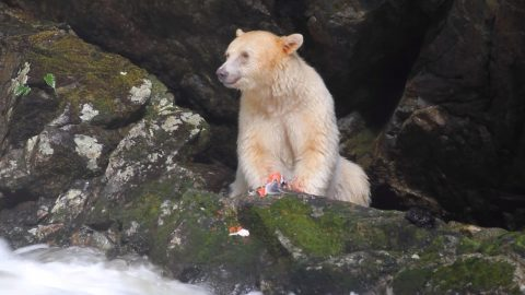 Stunning Spirit Bear Spotted Eating Salmon On Side Of River Image