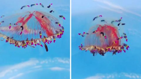 Fish keeper captures stunning beauty of toxic flower hat jellies Image