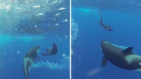 Spectacular moment diver gets up close and personal with huge killer whale Image