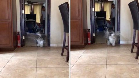 Committed Shih Tzu Destroys Invisible Challenge By Running Straight Through Cling Film Image