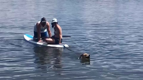 Lending A Helping Hound! This Dog Saves Couple On Paddle Board By Dragging Them Ashore Image