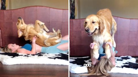 Donward Dog! Hilarious Woman And Golden Retriever Practise Yoga Together Image
