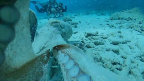 Grumpy Octopus Clearly Does Not Want His Picture Taken As He Wraps Tentacles Around Diver's Lens Image