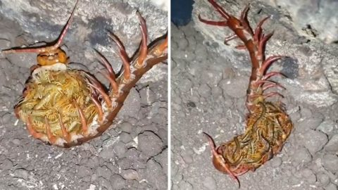 Bug keeper captures entomophobes worst nightmare as creepy centipede nurtures newborn Image