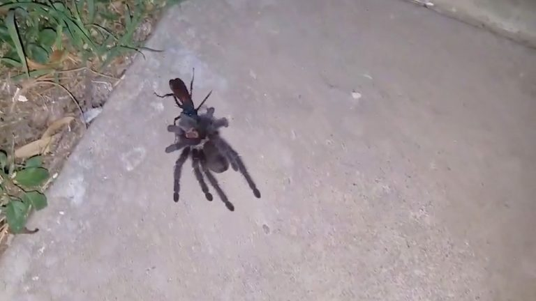 Sickening Moment Tarantula Hunting Wasp Drags Paralysed