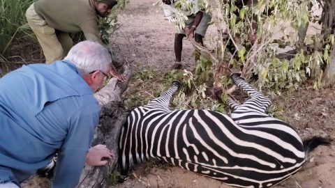 Operation Zebra Rescue: Casual African Safari Turns Into Intense Rescue Mission As Tourists Stumble Across Zebra Caught In Trap And In Desperate Need Of Help Image