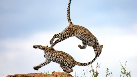 STUNNING PHOTOS SHOW FIGHT BETWEEN TWO LEOPARDS, CREATING INCREDIBLE FULL CIRCLE PIC Image