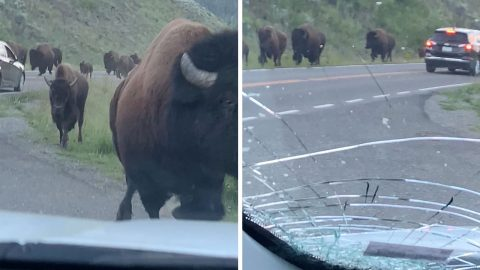 TERRIFYING MOMENT BISON STAMPEDE CRUSHES RENTAL CAR WITH FAMILY IN IT CRACKING WINDOW Image