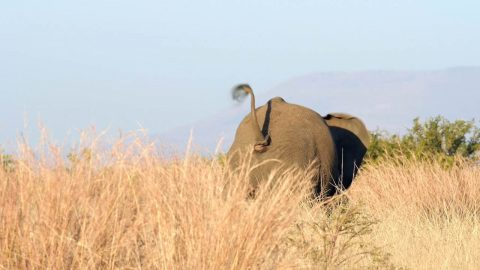 AFTER INTENSE STANDOFF BETWEEN TWO ELEPHANTS, ONE STUMBLES AND FALLS IN HILARIOUS FASHION Image
