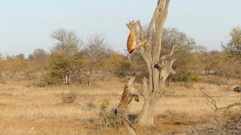 HUNGRY HYENA MAKES PATHETIC ATTEMPT TO STEAL IMPALA HIDDEN FROM ITS REACH BY CRAFTY LEOPARD Image