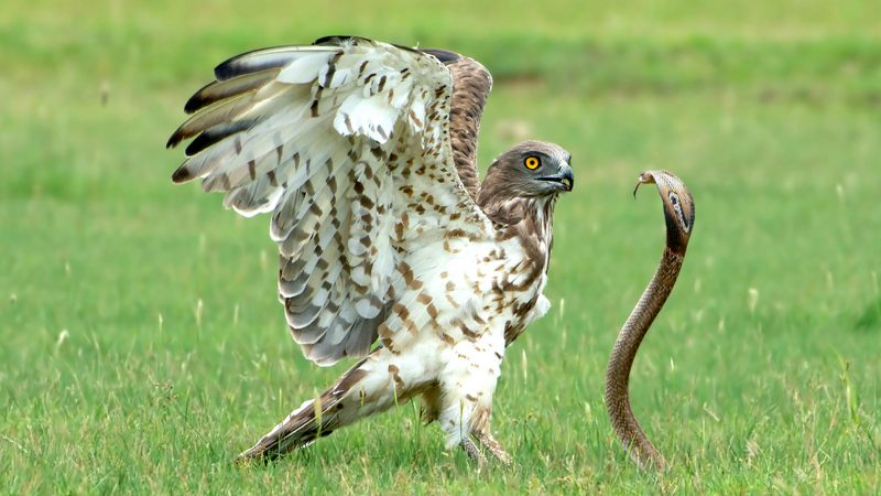 SNAKE IN THE GRASS! MOMENT HUNGRY EAGLE CAUGHT OFF-GUARD BY COBRA WHO FOUGHT BACK Image