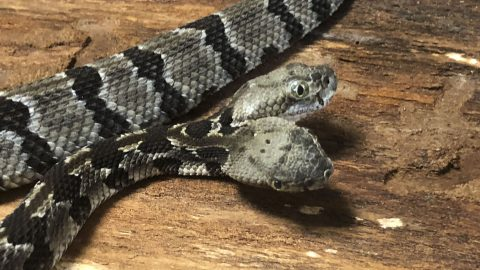 MAKING HISS-TORY! SCIENTISTS RESCUE TWO-HEADED RATTLESNAKE FROM WOODLANDS Image