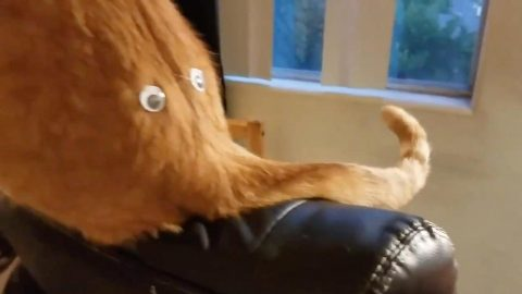 IS THAT A MIAOW-MOTH? GOOGLY EYES ON CAT'S BUM LOOKS LIKE AN ORANGE WOOLLY MAMMOTH Image
