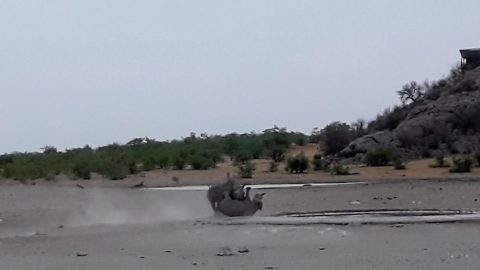 RARE RHINO FOOTAGE SHOW TWO BEHEMOTH BLACK RHINOS CLASH IN FIGHT Image