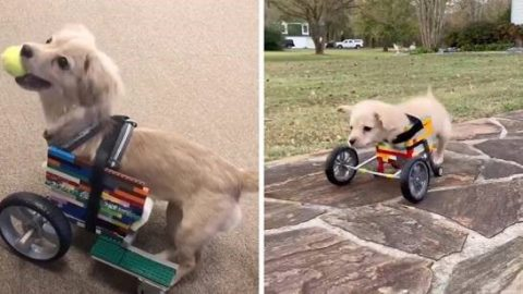 RESCUE DOG FOUND WITHOUT FRONT LEGS GETS WHEELCHAIR MADE OF LEGO SO SHE CAN GET AROUND Image