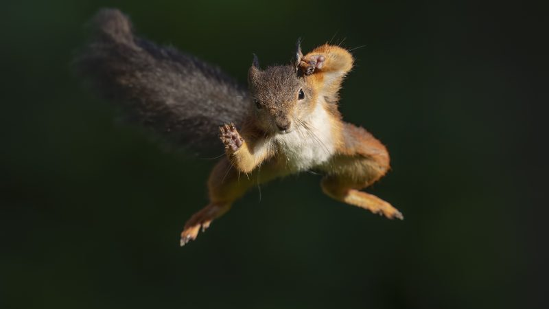 FUR-MIDDABLE! COMMITTED PHOTOGRAPHER SPENDS A YEAR PAINSTAKINGLY LURING SQUIRRELS CLOSER TO CONSERVATORY TO SNAP SPECTACULAR LEAPING SHOTS Image