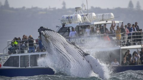 Humpback Calf Shows Off For Mum – By Breaching Metres From Boatload Of Tourists Image