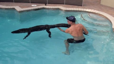 BRAVE TRAPPER JUMPS INTO FAMILY SWIMMING POOL TO PLAY WITH ROGUE ALLIGATOR BEFORE REMOVING THE GIANT REPTILE Image