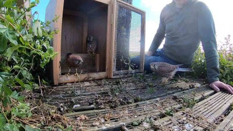 WILDLIFE PHOTOGRAPHER BECOMES MOTHER BIRD AFTER CARING FOR ORPHANED BABY KESTRELS Image