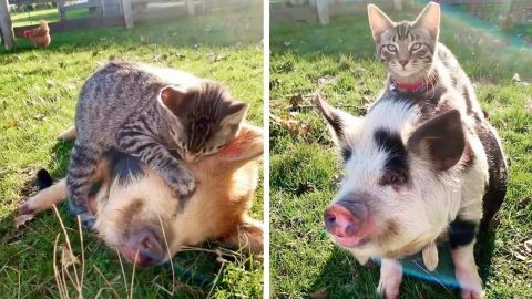 HOGS AND KISSES! FARM OWNER CAPTURES ADORABLE RELATIONSHIP BETWEEN KITTEN AND LITTER OF PIGS Image