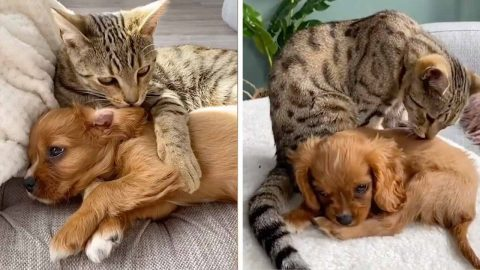 BEST OF FRENEMIES: CAT FALLS IN LOVE WITH NEW PUPPY GIVING HIM HUGE CUDDLES AND EVEN GROOMING HIM LIKE A BROTHER Image