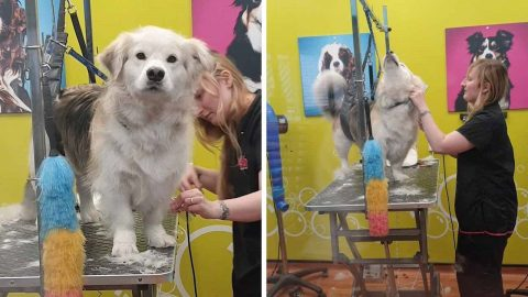 DISMAYED DOG LOOKS OVER AT OWNER AFTER BEING TAKEN TO GROOMERS Image