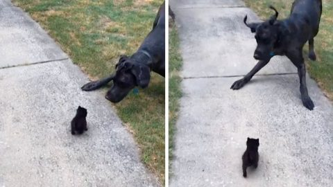 GIANT GREAT DANE GIVES A WHOLE NEW MEANING TO THE TERM SCAREDY CAT BY BEING FRIGHTENED BY TINY KITTEN Image