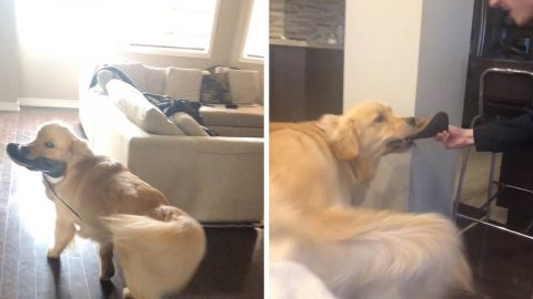 CHEEKY GOLDEN RETRIEVER HOLDS SHOES RANSOM IN EXCHANGE FOR TREATS Image