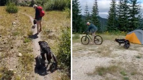 WHEELY ENJOYING HIMSELF! BACKPACKING DOG WHO HIKED ALL OVER THE US REFUSES TO LET DISABILITY STOP HIM AFTER FREAK  PARALYSIS – BY CONTINUING TRAVELS ON WHEELS Image
