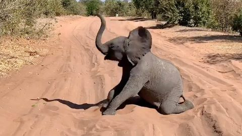 ADORABLE BABY ELEPHANT BRING SAFARI TO STANDSTILL BY ROLLING AROUND IN SAND Image