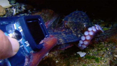 EIGHT-LEGGED SEA CREATURE TRIED TO OCTO-PULL DIVER'S GOPRO AND TAKE IT FOR ITSELF Image