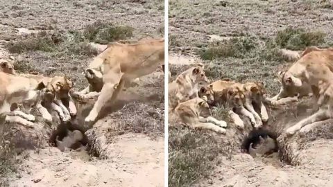 UNLUCKY WARTHOG GETS NASTY WAKE UP ALARM AS HIS SLEEPING HOLE IS SURROUNDED BY PRIDE OF LIONS Image