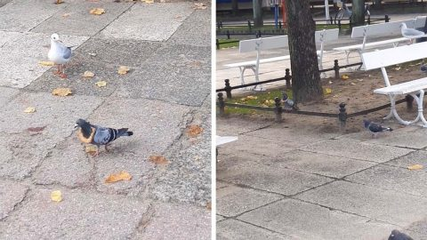 CARB LOVING PIGEON PUTS HEAD THROUGH SLICE OF BREAD SO OTHER BIRDS CAN'T GET TO IT Image