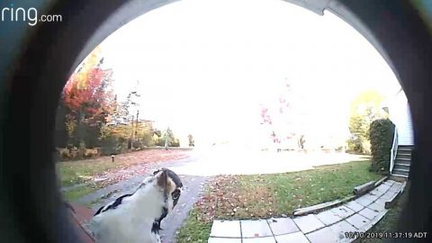 CURIOUS WOODPECKER ALERTS FAMILY'S VIDEO DOORBELL BY LANDING ON IT Image